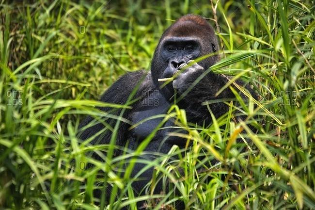 Central African Republic- Portrait of western lowland gorilla (Gorilla gorilla) sitting in grass