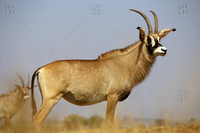 Eswatini- Roan antelope (Hippotragus equinus) standing outdoors
