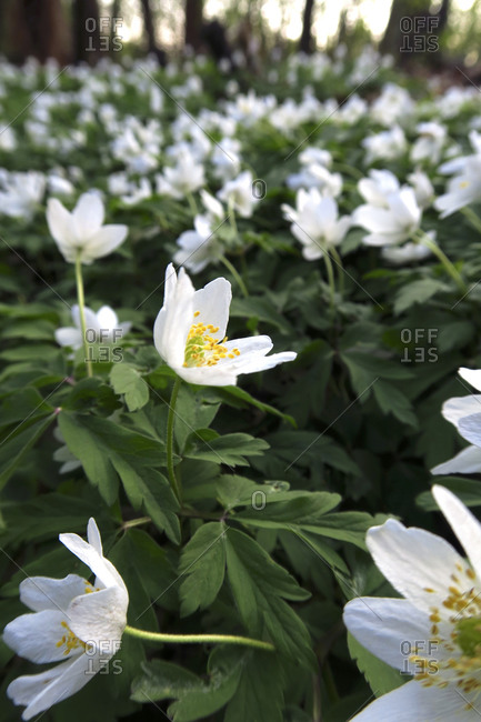 Germany- Bed of blooming wood anemones (Anemone nemorosa)