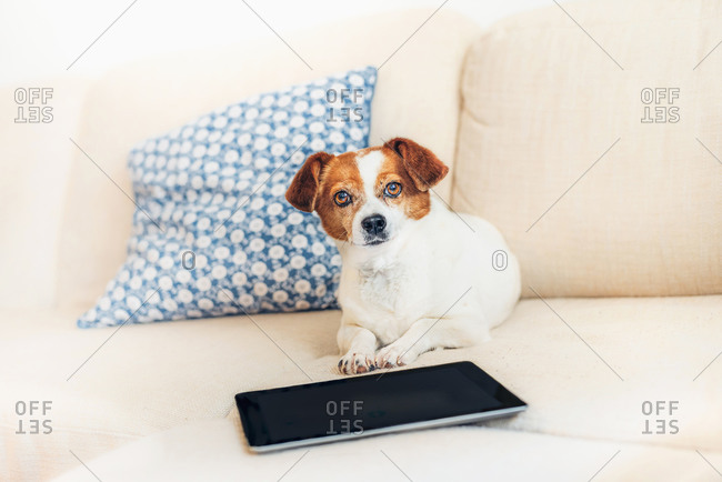 Portrait of dog lying on sofa with tablet