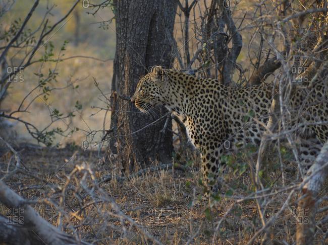 Leopard standing still in the bush- Kruger National Park- South Africa