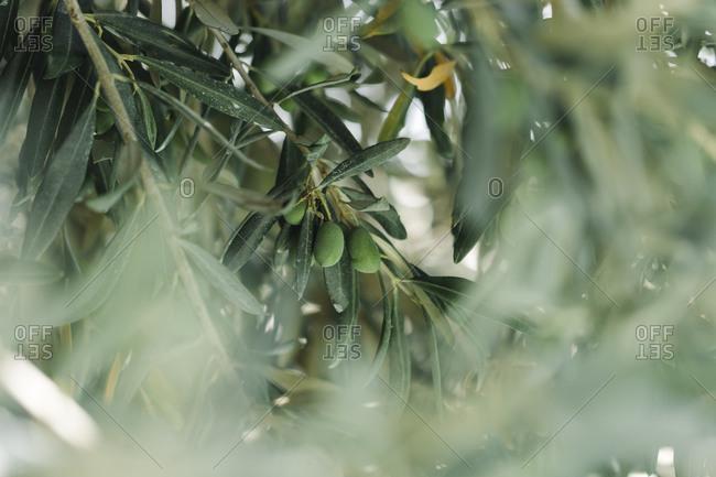 Closeup green olive tree with macro