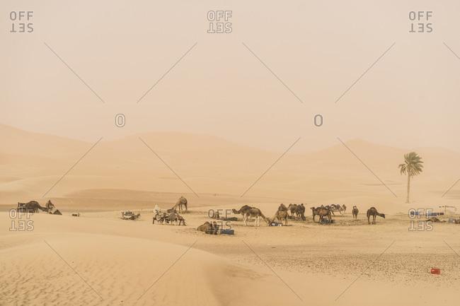 Landscape with dromedaries- Merzouga Desert- Morocco