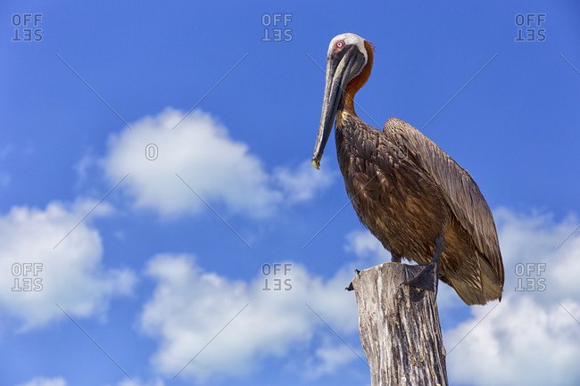 Low angle view of brown pelican perching on wood against sky