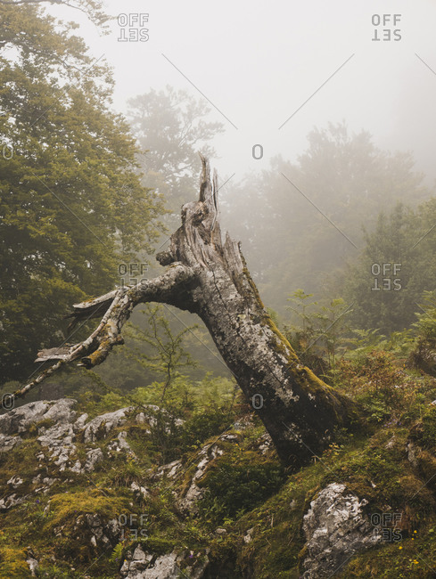 Spain- Cantabria- Tree stump in foggy mountains