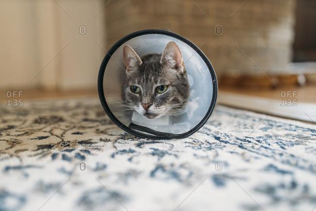 Portrait of cat with Elizabethan collar on carpet
