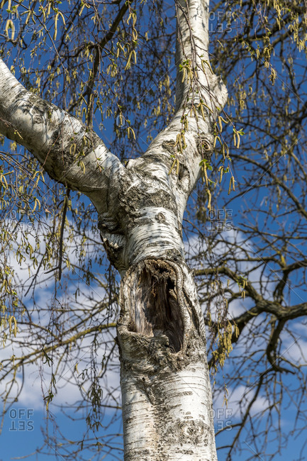Germany- Low angle view of birch tree hollow