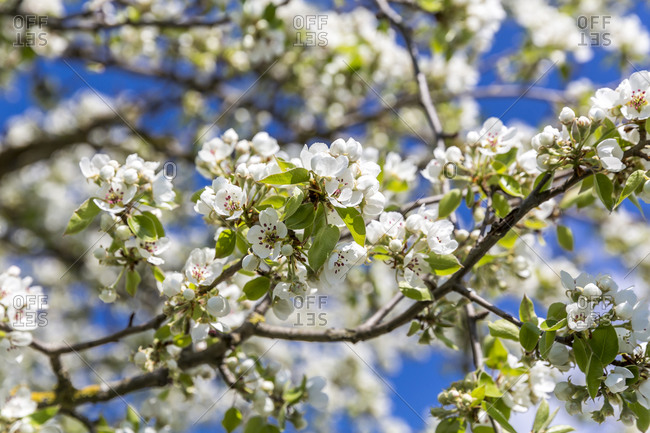Germany- Branches of blossoming pear tree