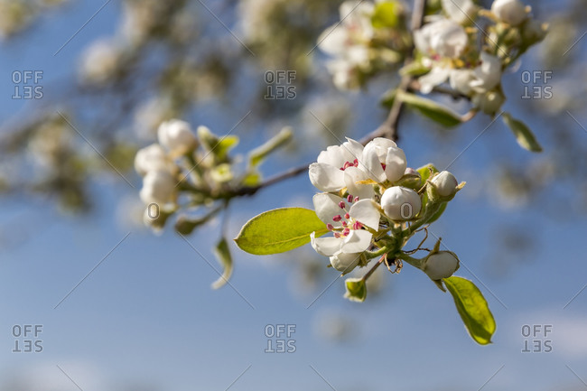 Germany- Branch of blossoming pear tree