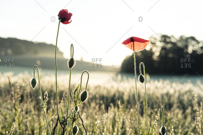 Germany- Corn poppies (Papaver rhoeas) blooming in meadow at sunrise