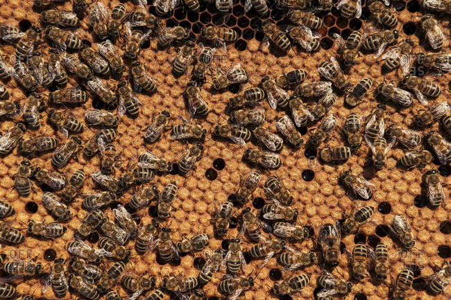 Full frame shot of bees on honeycomb tray