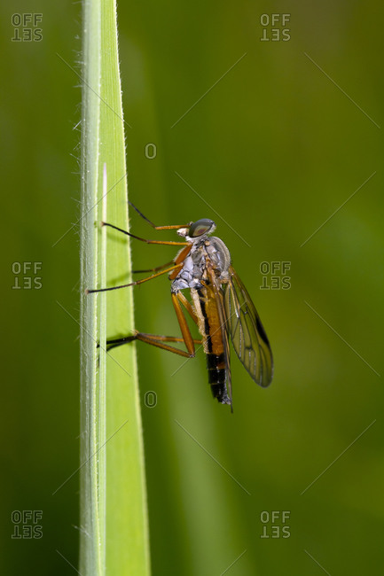 Germany- Close-up of marsh snipefly (Rhagio tringarius) perching on blade of grass