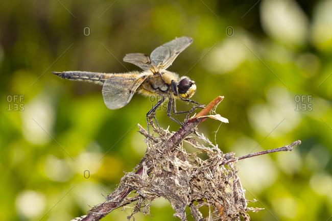 Germany- Close-up of Eurasian baskettail (Epitheca bimaculata) perching on twig