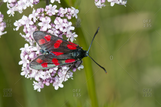 Germany- Close-up of five-spot burnet (Zygaena trifolii) perching on blooming wildflowers