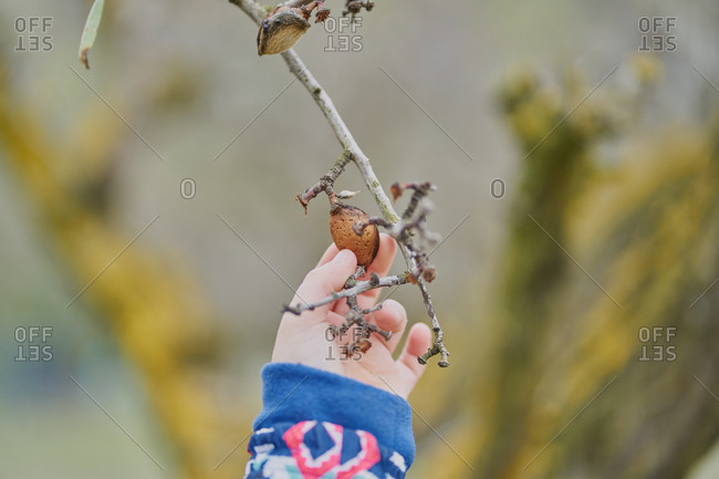 A child's hand holds an almond in the tree