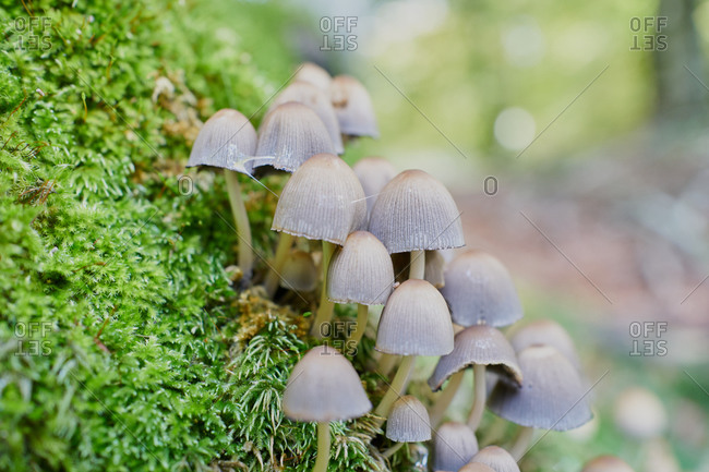Psilocybin Mushrooms In A Beech Tree Trunk