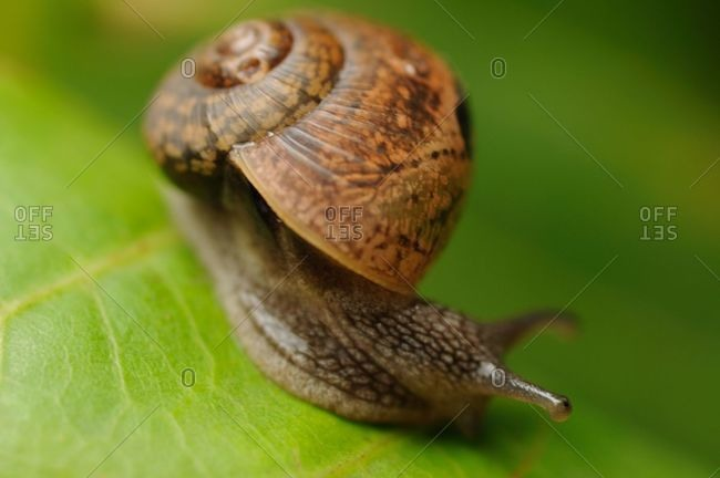 Snail on a green leaf during the monsoons