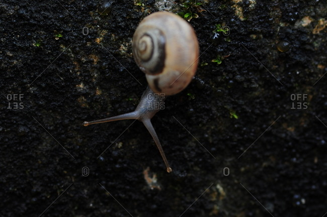 Snail crawling on a wall during the rains