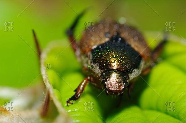 Green Dock Beetle on a leaf
