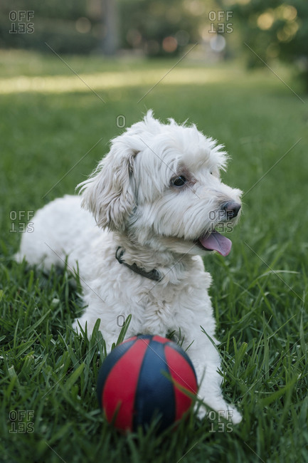 Poodle dog lying in the grass with his ball