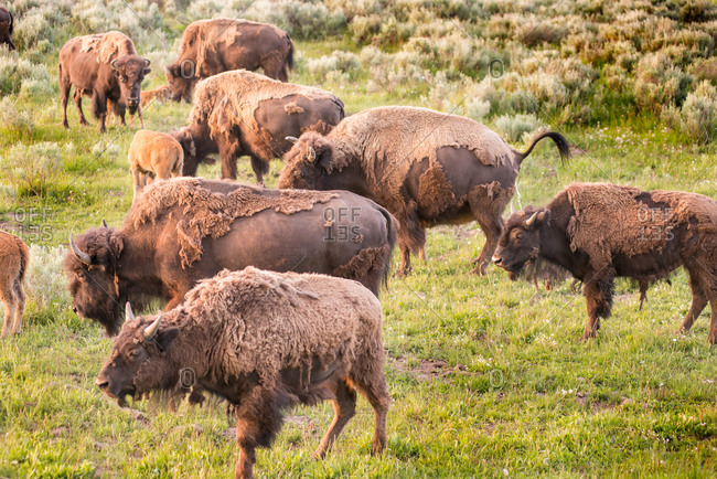 Herd of Bison in Lamar Valley, Yellowstone National Park
