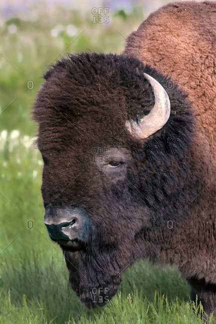 Close-up side view of a Bison in Lamar Valley, Yellowstone National Park