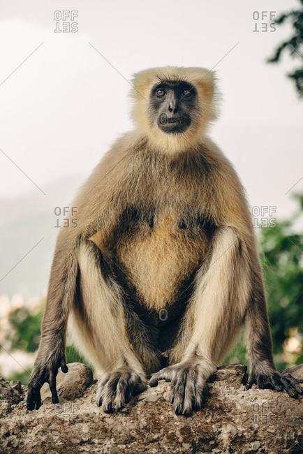 Langur monkey sitting in concrete fence