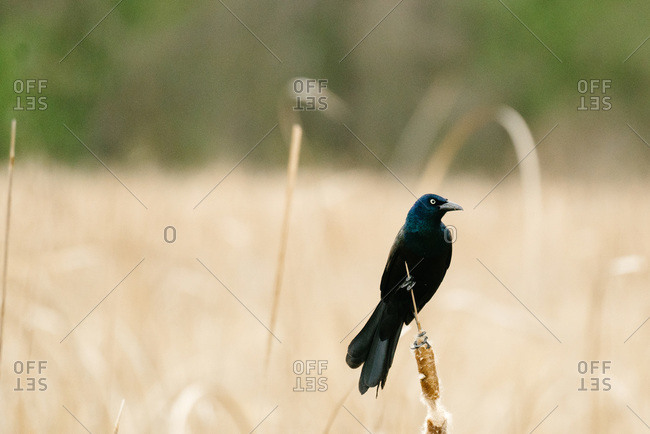 Portrait of a grackle perched on a cattail reed in a Minnesota pond