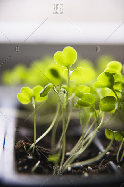 Macro Arugula Seedlings and Micro Greens sprouting
