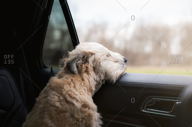 Fluffy dog with his head sticking out of the open window of a car.