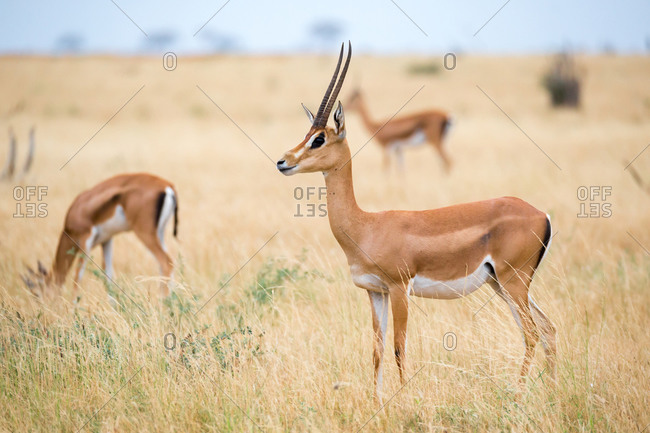 An antelopes in the grassland of the savannah of Kenya