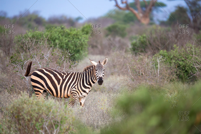 One zebra standing and watching between the bush