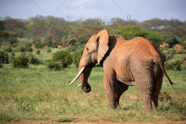 A big red elephant walks through the savannah between many plants