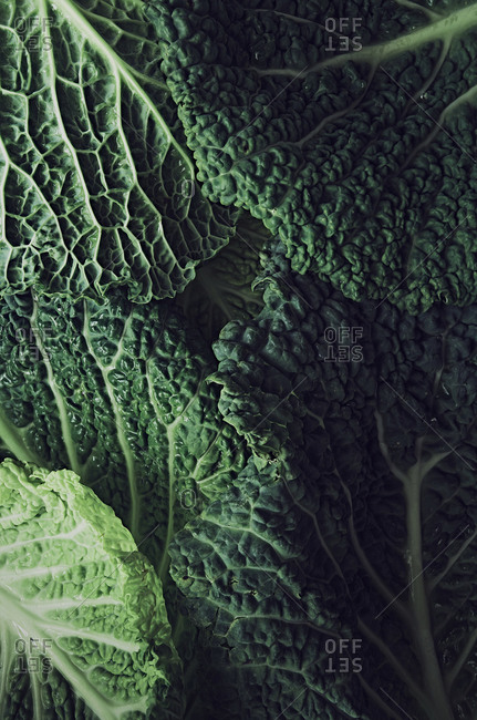 Close up detail shot of Savoy cabbage leaves. Background and texture.
