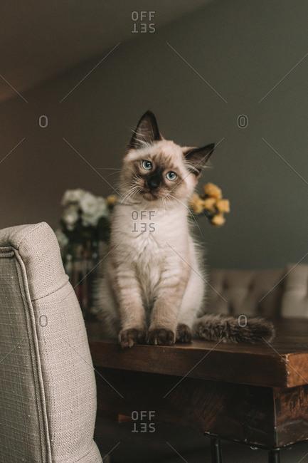 Siamese kitten sitting on dining room table