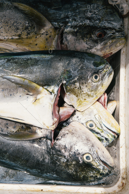 Mahi Mahi resting on ice in market after fresh catch in Caribbean