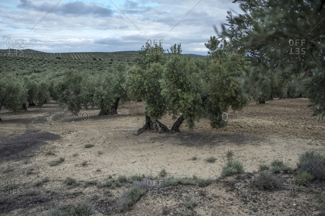 Olives trees on cloudy day in Jaen, Andalusia, Spain