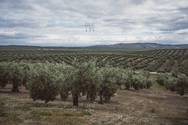 Olives orchard on cloudy day in Jaen, Andalusia, Spain