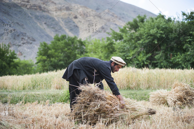 A farmer holds a freshly cut bundle of wheat in the Panjshir valley in Afghanistan