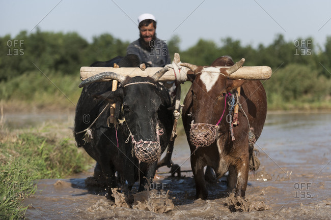 A farmer from Herat province works with cows in his rice paddies