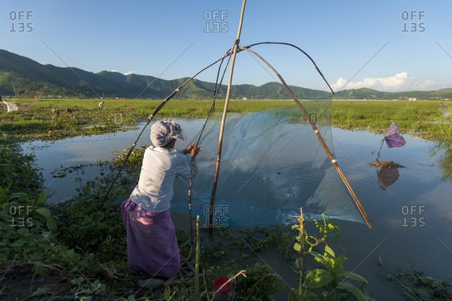 A woman uses a drop net to catch fish in the rice paddies
