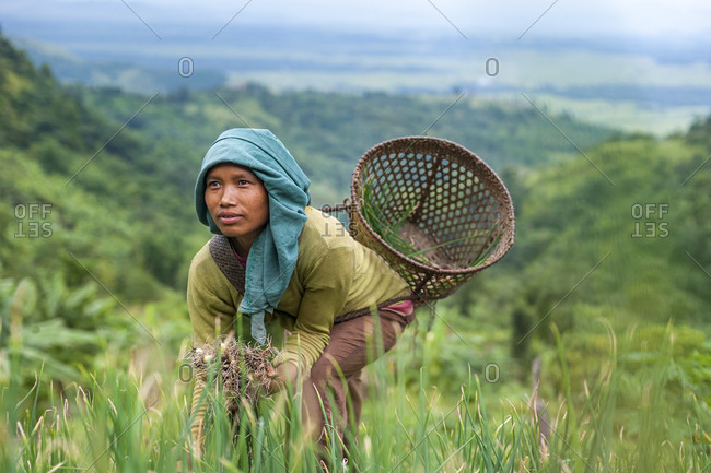 A girl collects spring onions on the verdant green slopes of Manipur in north east India