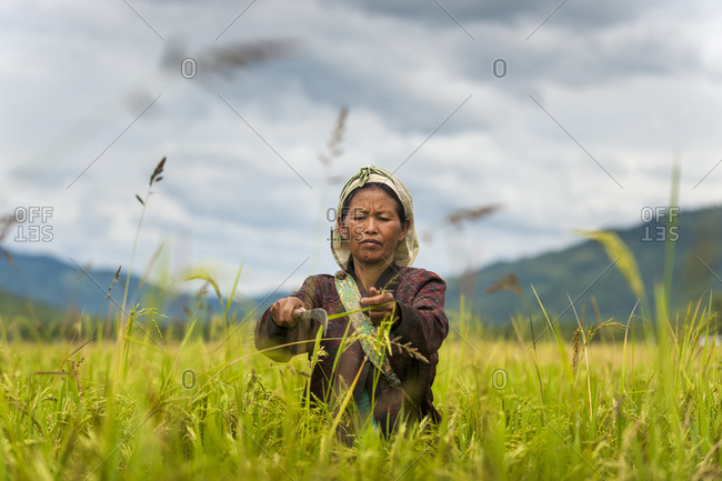 A woman clears away tall grasses in the rice paddies