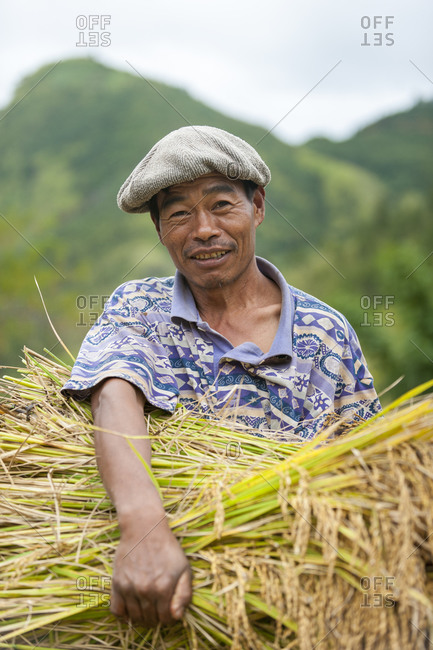 Manipur, India - October 15, 2010: A man clutches a bundle of freshly harvested rice in India
