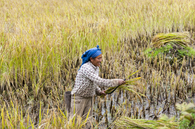 A woman harvests rice in a rice paddies in Northeast India