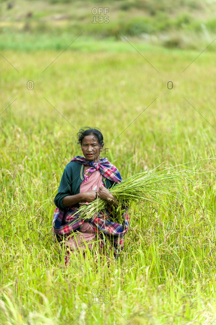 A Khasi woman clears away tall grasses from the rice paddies