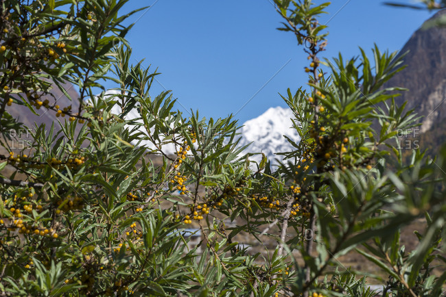 Seabuckthorn growing in the Himalayas in the Langtang valley in Nepal with views of the mountains in the distance