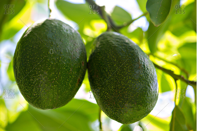 Close-up of avocados on trees