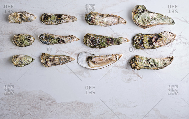 Dozen of oysters of various species and sizes served on display on white marble background