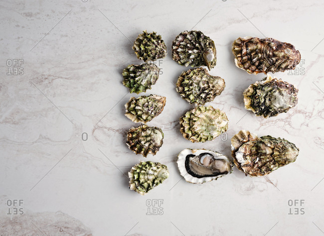 Dozen of small and big oysters on white marble background